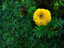 Jaune de fleur de Merigold Photographie stock libre de droits