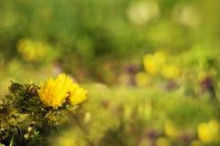Jaune de fleur de ressort Photo stock