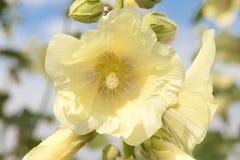Jaune de fleur de rose trémière Photo libre de droits