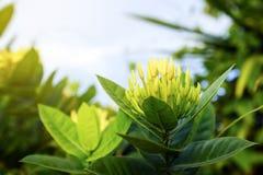 Jaune de fleur de transitoire en nature Images libres de droits