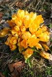 jaune de groupe de fleur de safran Photos libres de droits