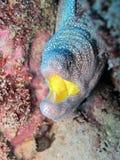 Jaune de gueulede Murène à - moray jaune de bouche Photos stock