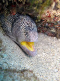 Jaune de gueulede Murène à - moray jaune de bouche Image libre de droits