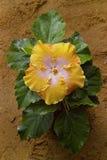 jaune de hibiscud de fleur images stock