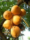 Jaune de noix de coco de roi Image libre de droits