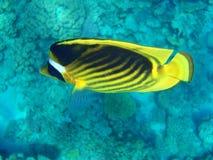 jaune de poissons Photo libre de droits