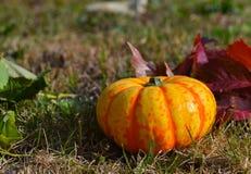 Jaune de potiron sur la pelouse Image libre de droits