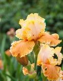 Jaune de pseudacorus d'iris Photos stock