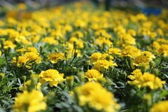 Jaune de Tagetes Patula Photos stock