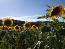 Jaune de tournesol dans un domaine ouvert sous le soleil images libres de droits