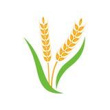 Jaune de transitoire d'orge de blé d'isolement sur le fond blanc Image libre de droits