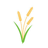 Jaune de transitoire d'orge de blé d'isolement sur le fond blanc Image stock