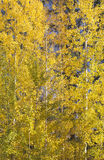 jaune de tremblement d'arbres d'or de tremble Image stock