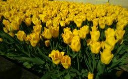 Jaune de tulipe Photographie stock libre de droits