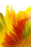 jaune de tulipe de pétales Images libres de droits