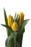 jaune de tulipes Images libres de droits
