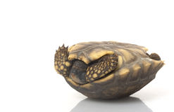 jaune du sud aux pieds américain de tortue Photographie stock libre de droits