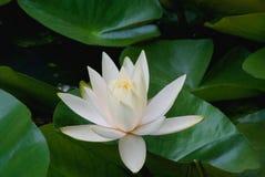 Jaune et avec la fleur de lis de gage de l'eau Photographie stock libre de droits