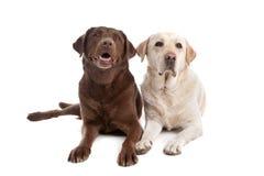 Jaune et chocolat Labrador Photos libres de droits