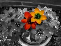 Jaune et rouge Photo libre de droits