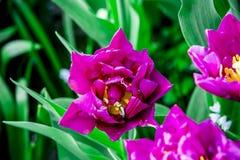 Jaune et tulipes blanches de crème de Hollande photos libres de droits