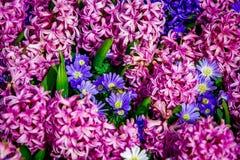 Jaune et tulipes blanches de crème de Hollande Image stock