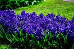 Jaune et tulipes blanches de crème de Hollande Photographie stock
