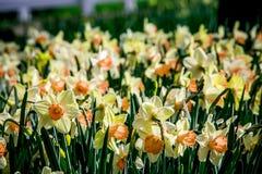 Jaune et tulipes blanches de crème de Hollande Photo stock