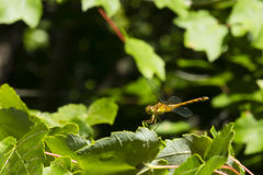 Jaune femelle - libellule à jambes de Meadowhawk sur des extrémités foliaires Image libre de droits