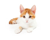 Or jaune Kitten Laying Looking Into Camera Photo stock