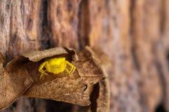 Jaune le papillon attaqué petite par araignée Images libres de droits