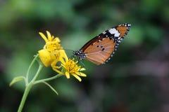 Jaune le papillon attaqué petite par araignée Photos stock