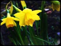 jaune lumineux de narcisse Images stock