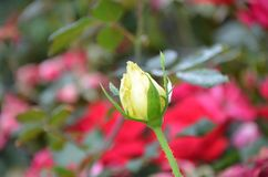 Jaune Rose Bud du ` s de grand-maman Photographie stock