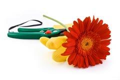 jaune rouge de ciseaux de gants de gerbera de jardin Photo libre de droits