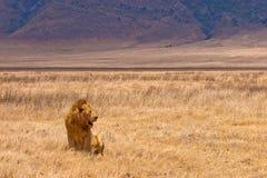 jaune se reposant de mâle de lion d'herbe sèche Image stock