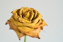 jaune sec de rose Images libres de droits