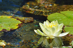 Jaune waterlily Photos libres de droits