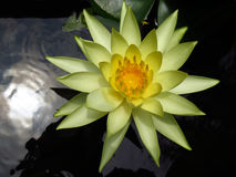 Jaune waterlily Image stock