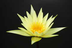 Jaune waterlily sur le noir Photo libre de droits