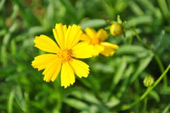 Jaunissez la fleur Photos libres de droits