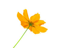 Jaunissez la fleur de cosmos d'isolement sur le fond blanc photos libres de droits