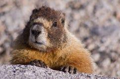 Jaunissez la marmotte gonflée Photographie stock libre de droits