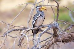 Jaunissez le Hornbill affiché Image stock