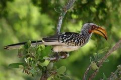 Jaunissez le Hornbill affiché Photo libre de droits