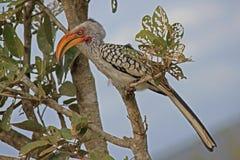 Jaunissez le Hornbill affiché Photographie stock
