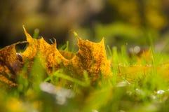 Jaunissez les feuilles d'automne tombées se trouvant sur l'herbe Photo libre de droits