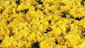 Jaunissez les fleurs de chrysanthemum Image libre de droits