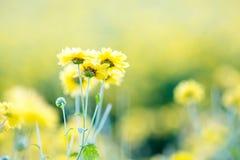 Jaunissez les fleurs de chrysanthemum photographie stock libre de droits