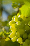 Jaunissez les raisins Image stock
